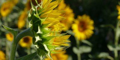 Anerkennung Sonnenblume